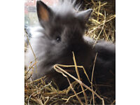 Stunning extremely fluffy Lionhead X