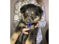 Belgian (German) Shepard pups