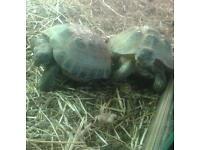 Breefing pair of horse field tortoise