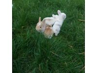 Beautiful bunny rabbits x Lop