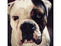 Olde Tyme Bulldog