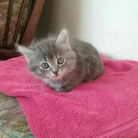 6 kittens ready soon