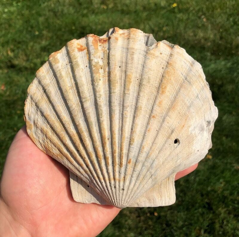 Fossil Scallop- Double Valve Chesapecten middlesexensis from Virginia Miocene