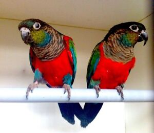 Crimson Bellied Conure Tame Female Jealous Male Sat 27th Only