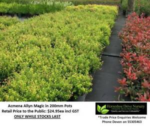Acmena Allyn Magic Lilly Pilly Assorted Sizes Low Hedges HS001 Mudgeeraba Gold Coast South Preview