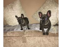 Kc French bulldogs puppys