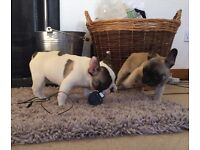 beautiful stunning french bulldog puppies