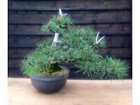 SALE Quality Kifu/Chuhin Size Mugo Pine Bonsai