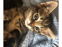 Beautiful Female kitten **1Left! Chausie🐯+Marble tabby mix