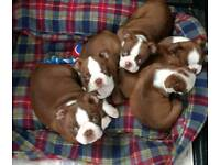Pedigree Boston terrier s female puppies
