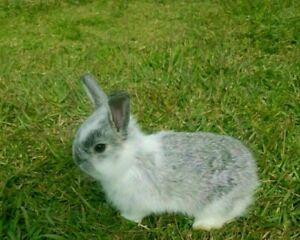 Pure Lop x Quarter lop Rabbit
