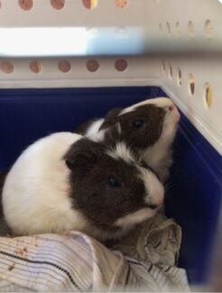 2 male guinea pigs to go to a good home