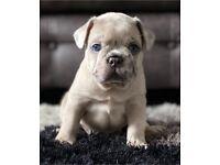 Outstanding Merle French Bulldog KC Reg Lilac Blue Fawn