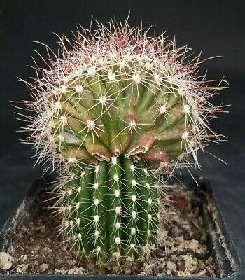 ferocactus hamatacanthus crested grafted H10cm L7cm