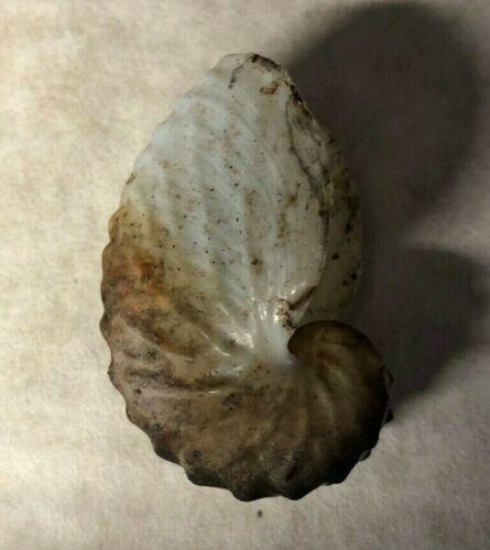 "Genuine  Paper Nautilus Shell (about 2"") Beach Decor Top Quality Coastal Crafts"