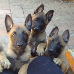 Belgian Malinois with PEDIGREE PAPERS