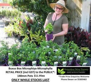 Buxus Japanese Box Microphylla Hedge OR Border Plant Mudgeeraba Gold Coast South Preview