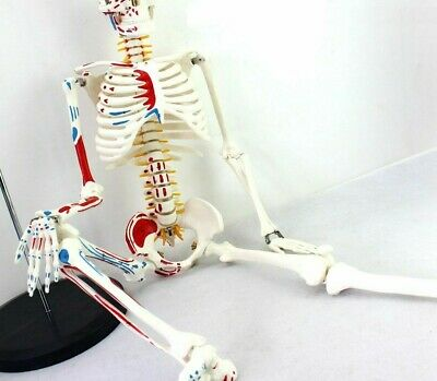 Human Skeletons Anatomical Models High Quality Pvc Manikin Educational Equipment