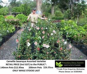 Camellia Sasanqua - Assorted Sizes - Must See!  HS015 Mudgeeraba Gold Coast South Preview