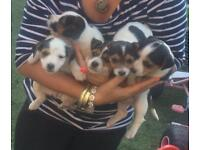 Pure Jack Russell puppies for sale