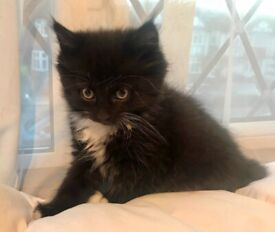 Last Female Fluffy Black and White Kitten. Available now, drop off within Kingston area available