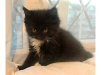 Female Fluffy Black and White Kitten. Available now, drop off within Kingston area available