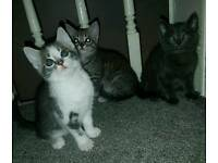 3 Gorgeous Grey Mixed Breed Kittens