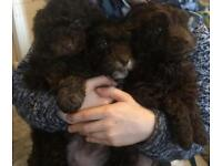 Gorgeous F2 Cockapoo puppies