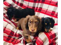 Mini long hair dachshund puppies
