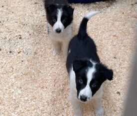 Here we have 8 beautiful border collie pups for sale