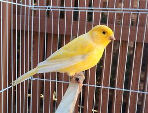 Canary for sale - beautiful singer Lyneham North Canberra Preview