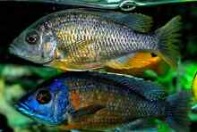 Trio breeding size Red Fin Kandango Jerrabomberra Queanbeyan Area Preview