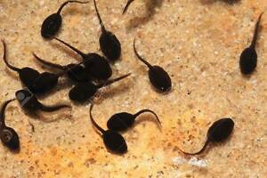 Marsh frog tadpoles 20 for $20 Mount Barker Mount Barker Area Preview