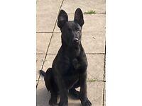 Dutch Shepard x mali pups for sale