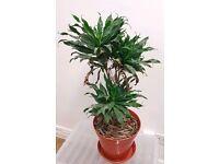 Indoor plant | Dracaena Fragrans Compacta | 'Janet Craig' | Leeds