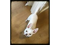kc registered male chihuahua