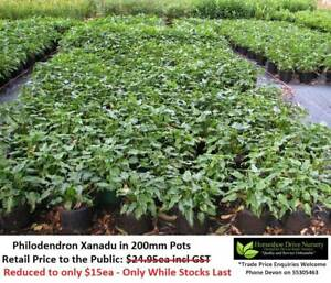 Philodendron Xanadu SUPER SPECIAL REDUCED TO $15ea! Mudgeeraba Gold Coast South Preview