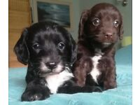 Two Adorable Sproodle Puppies (female)