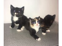 Kittens 8 weeks ready now