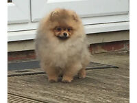 Stunning Pomeranian boy Available!