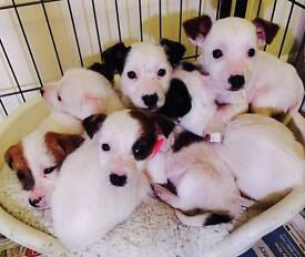 2 x Jack Russell puppies left