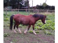 Beautiful registered Welsh pony (section A) mare.