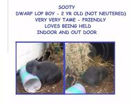 dwarf lop boy blue - grey