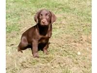 Labrador puppies chocolate