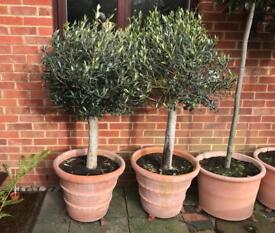 Mature olive trees in terracotta pots