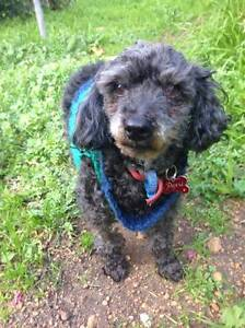 Friendly Pepsi the Poodle seeking a warm forever home Midland Swan Area Preview