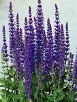 purplesalvia999