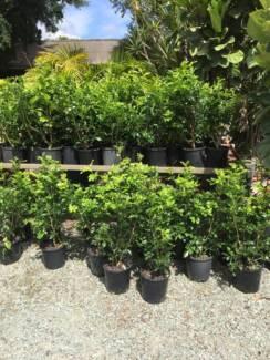 Murraya - Mock Orange - Quality Plants on Sale from the Grower