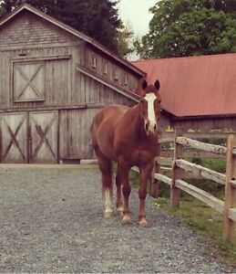 QH gelding to rehome