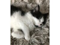 female kitten, litter trained (9 weeks) comes with bed, toys, etc